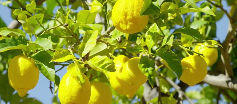 Bí quyết trồng chanh vàng Mỹ thơm ngon