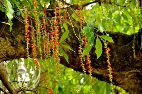 Cách tạo rễ buông và rải vụ cho hoa lộc vừng