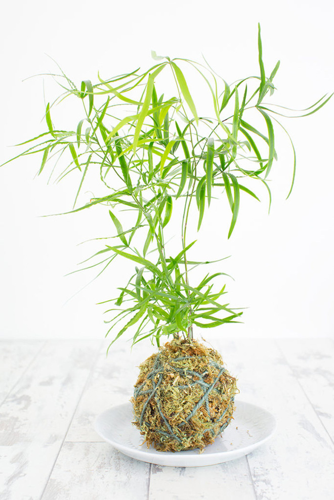 Nghệ thuật trồng cây Kokedama trang trí nhà