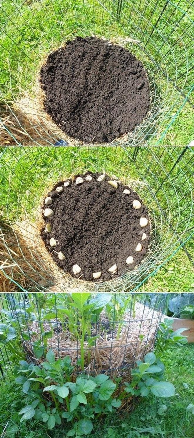 Tuyệt chiêu trồng khoai tây bội thu cho nhà phố