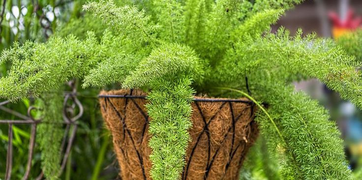 Cách trồng cây trúc đuôi chồn