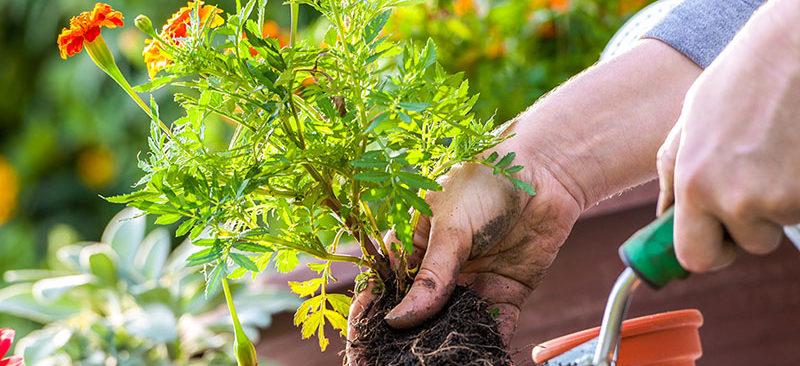 Bí quyết trồng và chăm sóc cây cảnh để bàn