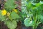 Hướng dẫn cách trồng rau bí lấy ngọn