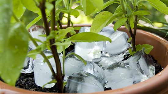 Mẹo tưới cây bằng nước đá giúp đất luôn giữ ẩm