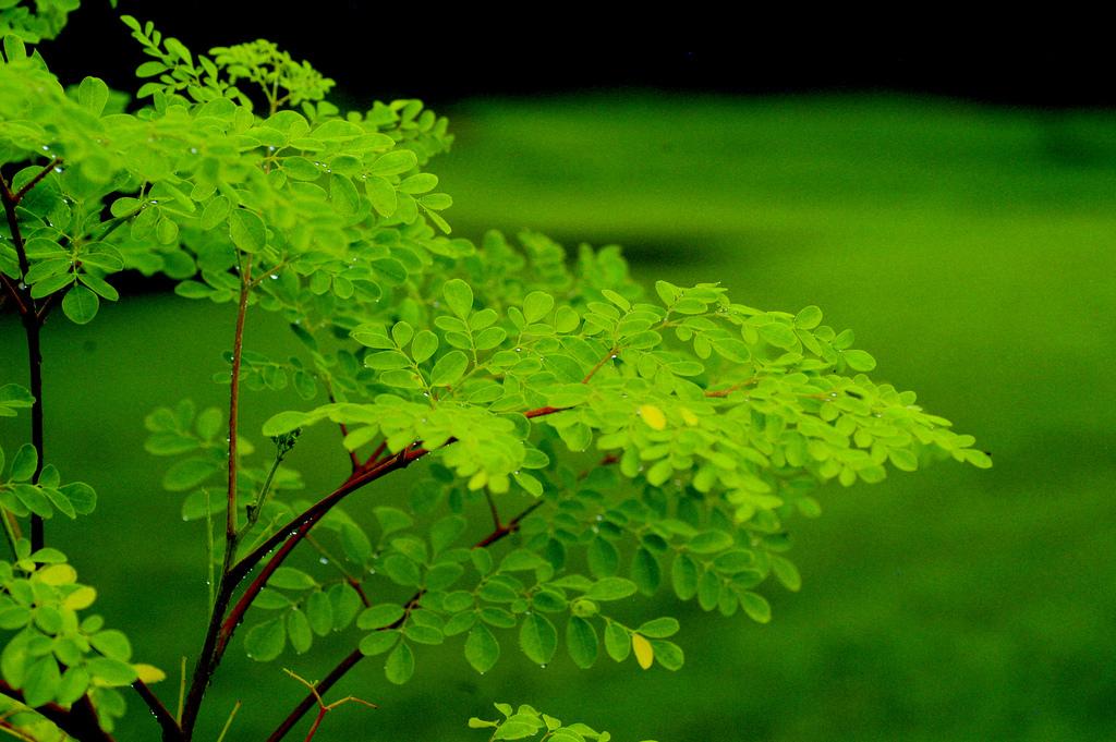 Bí quyết trồng thần dược chùm ngây chữa bách bệnh