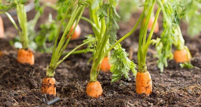 Mê mẩn với cách trồng cà rốt tí hon mini gây sốt