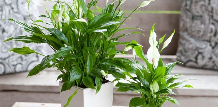 Hướng dẫn cách trồng cây lan ý