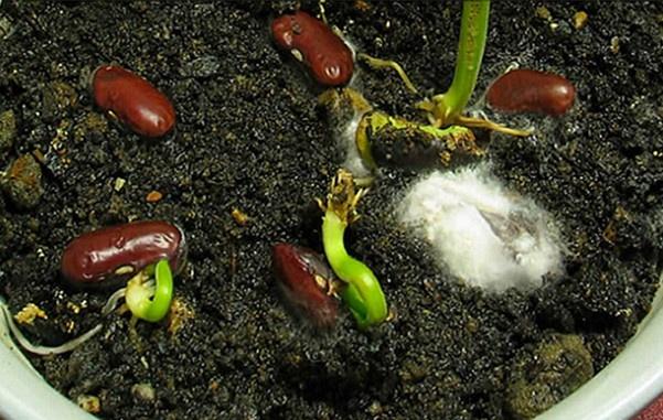 Hướng dẫn cách trồng đậu đũa