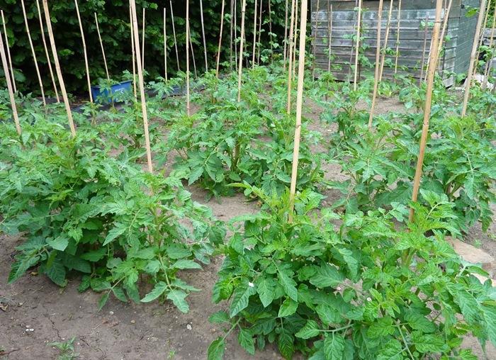 7 cách làm giàn cà chua đơn giản
