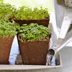 8 mẹo trồng rau mầm gieo lứa nào gặt lứa đấy