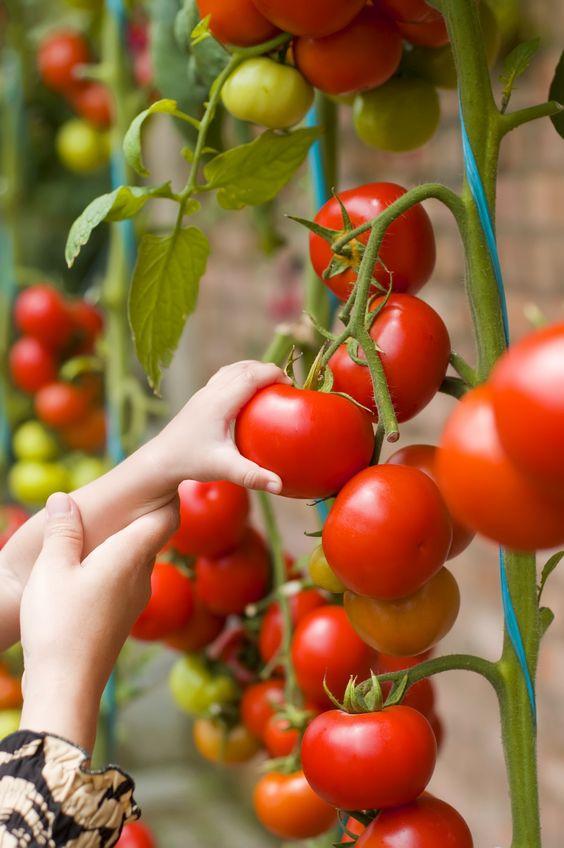 Mẹo trồng cà chua