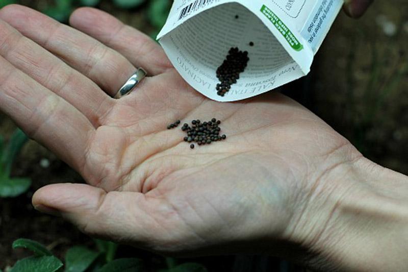 Học cách trồng cải xoăn độc lạ