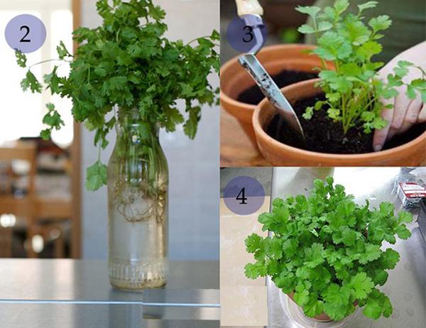 Mẹo tái sinh trồng rau củ từ gốc bỏ đi