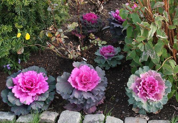 Học cách trồng bắp cải hoa hồng đẹp mê ly trang trí vườn nhà