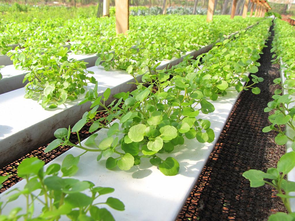 Tuyệt chiêu trồng rau cải xoong