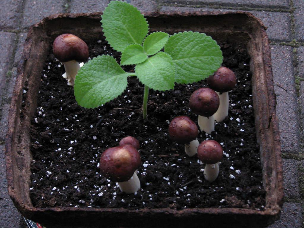 Cách trồng húng chanh chữa ho cho bé