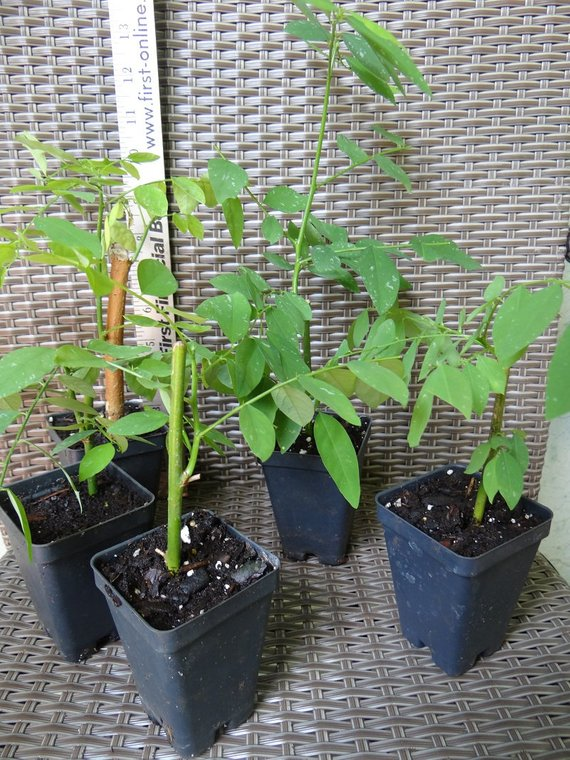 Bí quyết trồng rau ngót chữa mồ hôi trộm táo bón cho bé