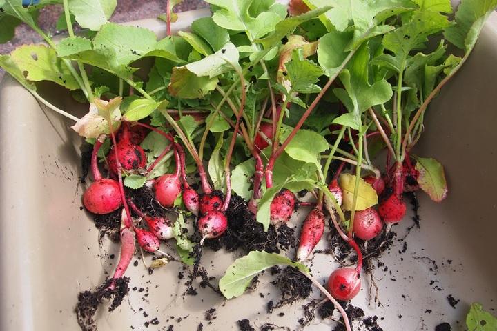 Cách trồng củ cải đỏ đít trắng mini