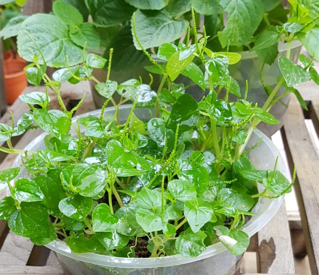 Bí quyết trồng rau càng cua mọc dại