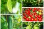 Tự trồng 5 loại rau quả tại nhà