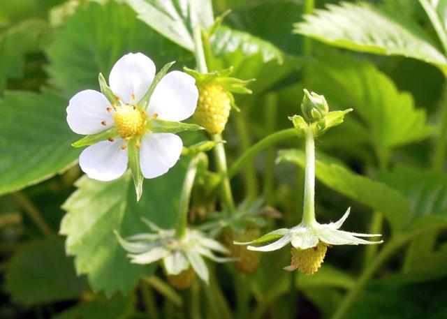 Bí quyết trồng dâu tây vàng ngọt đậm đà hơn dâu đỏ