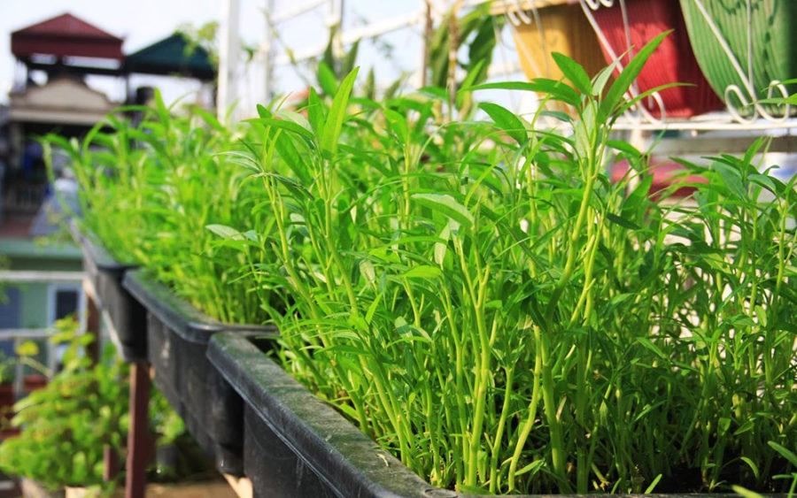Học ngay cách trồng rau muống bàng cành tiết kiệm chi phí