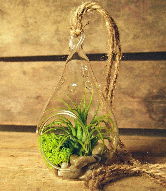 Cách trồng cây không khí trang trí nhà