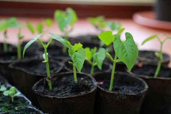 Bí quyết trồng đậu cô ve đơn giản tại nhà