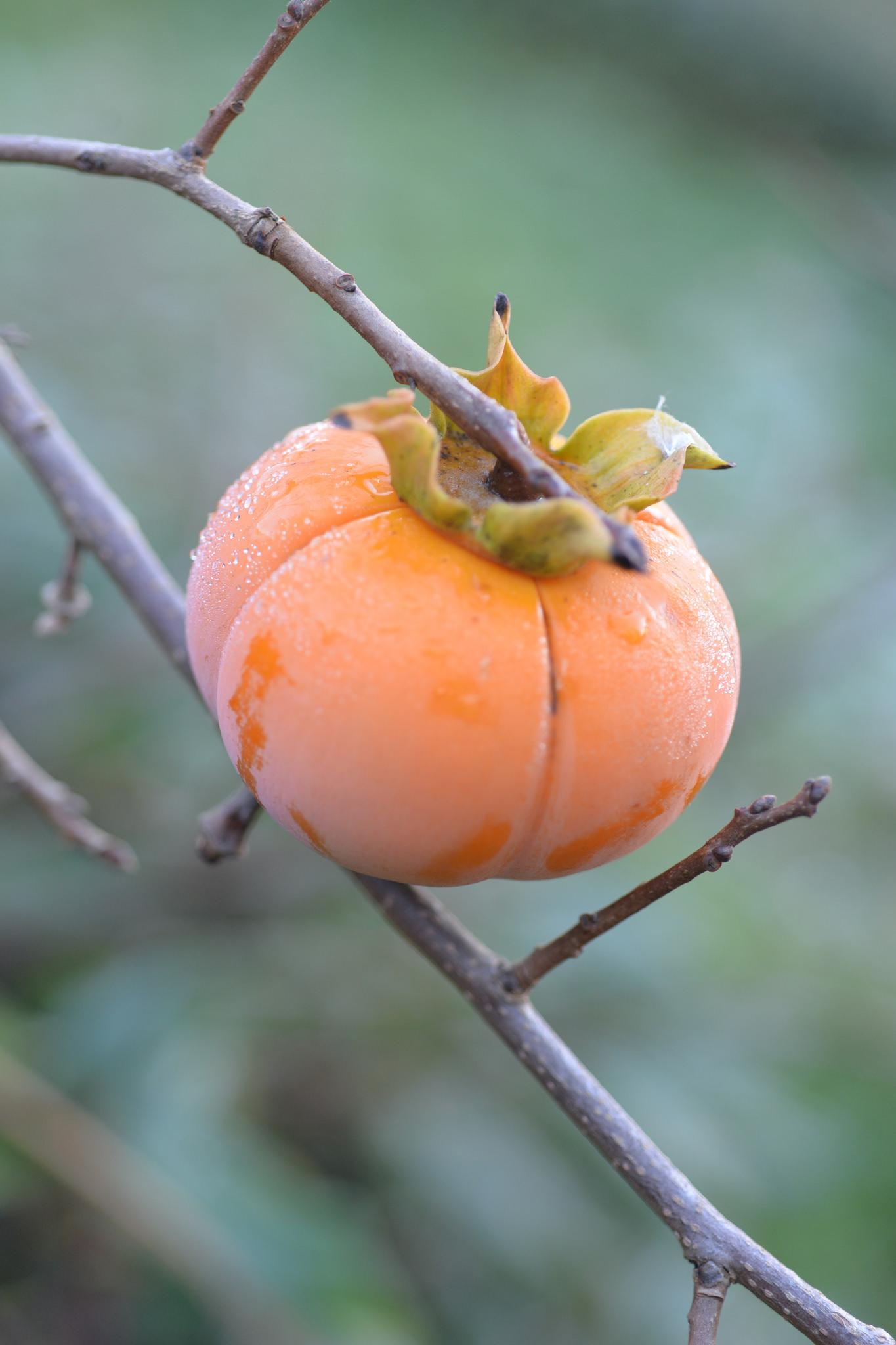 Tuyệt chiêu cắt tỉa cây hồng giòn giúp cây phát triển tốt