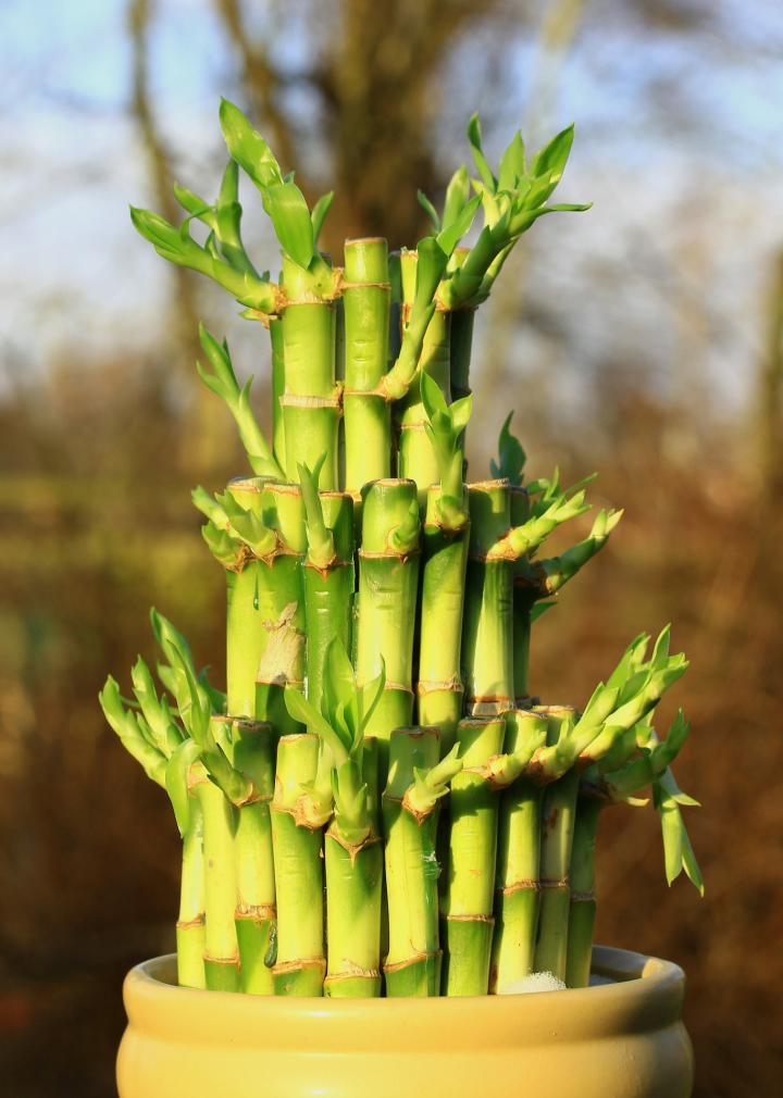 Học ngay cách trồng cây phát tài phát lộc đón Tết đến Xuân về