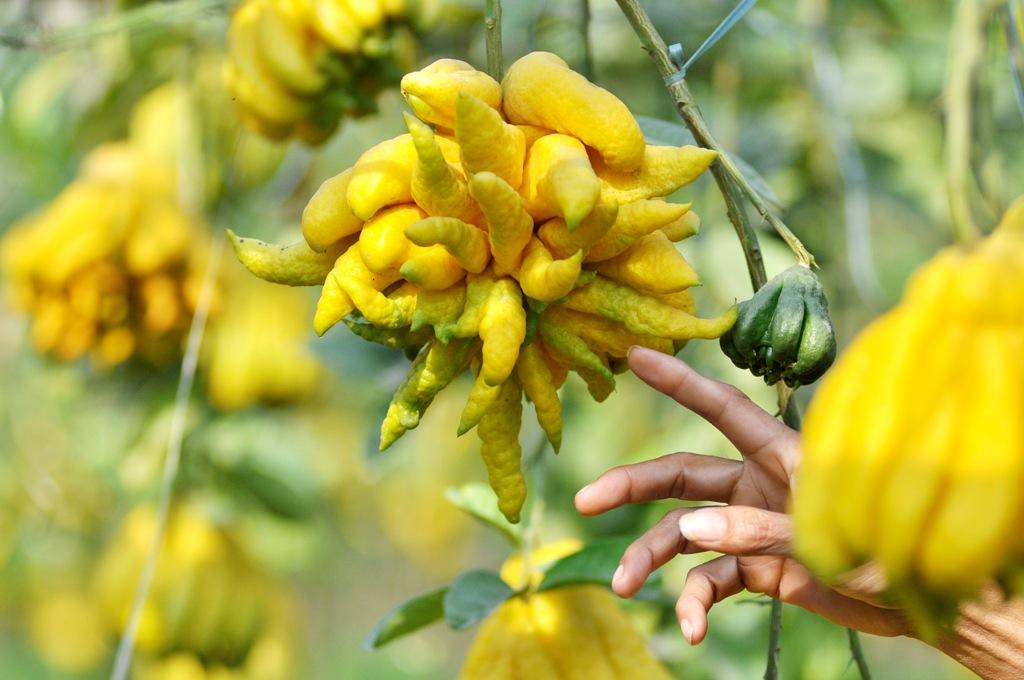 Chăm sóc cây phật thủ cảnh ra hoa đậu quả đúng Tết