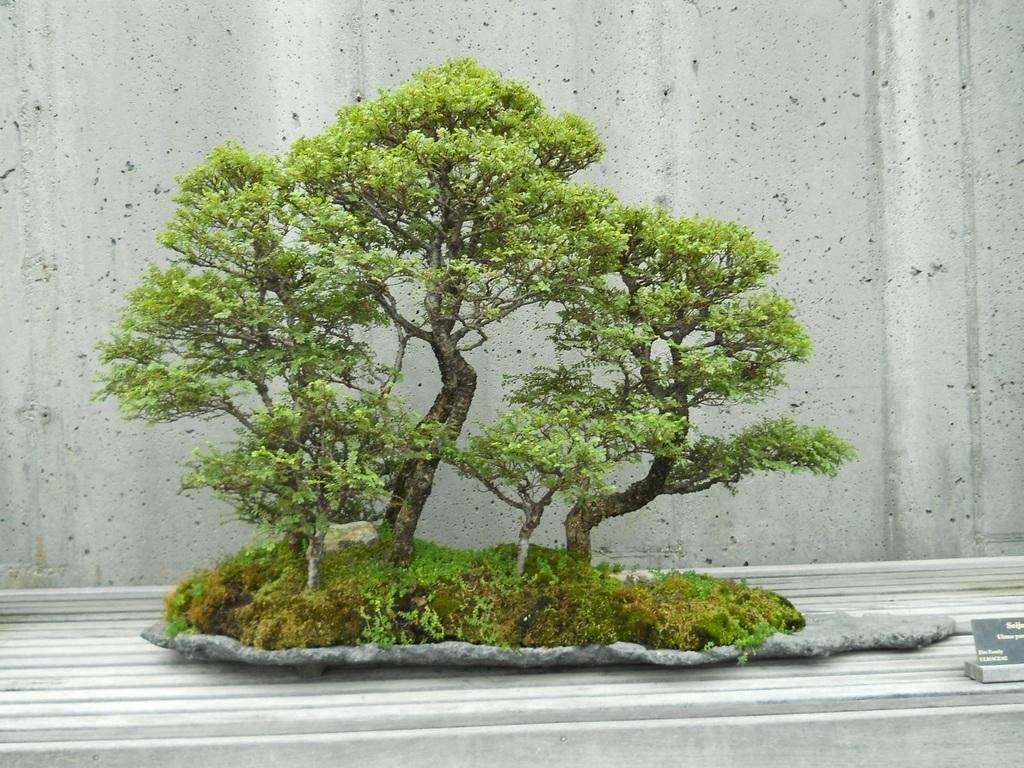 Bí kíp đảo cành lấy chi bonsai nghệ thuật