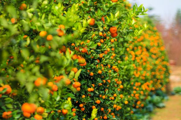 Bí kíp trồng và chăm sóc cây quất cảnh ra quả đúng dịp Tết