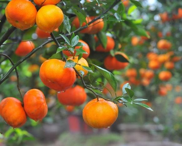 Hướng dẫn cách trồng cam canh bonsai chơi Tết