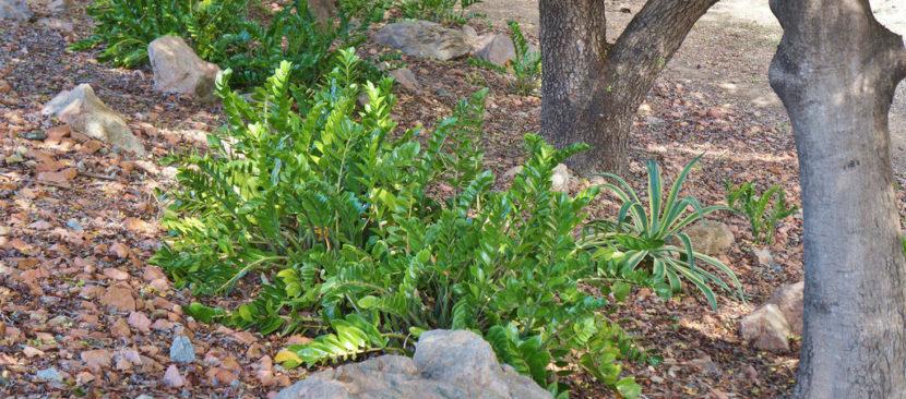 Hướng dẫn cách trồng cây kim tiền