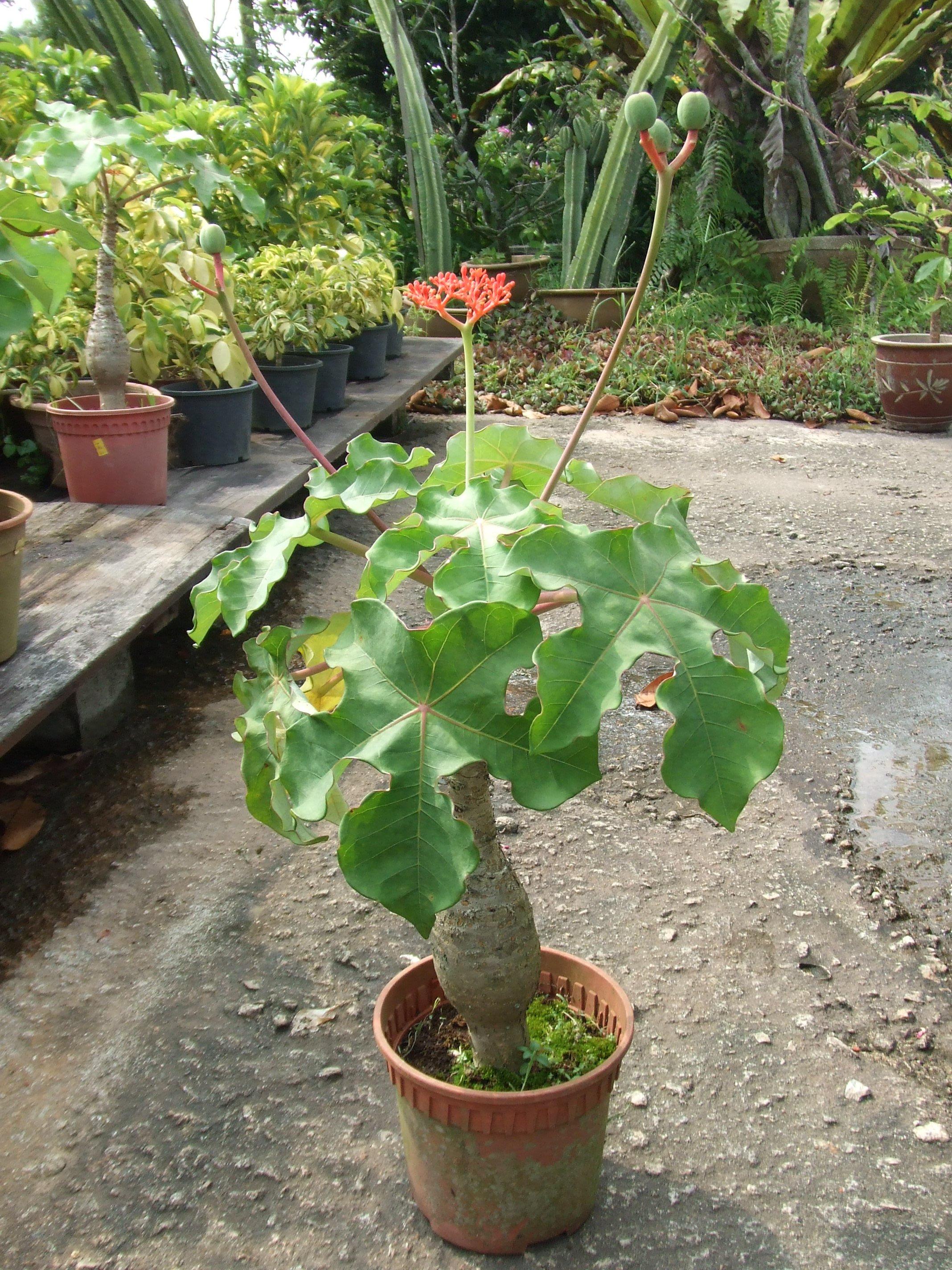 Cách trồng cây ngô đồng cảnh ngày tết