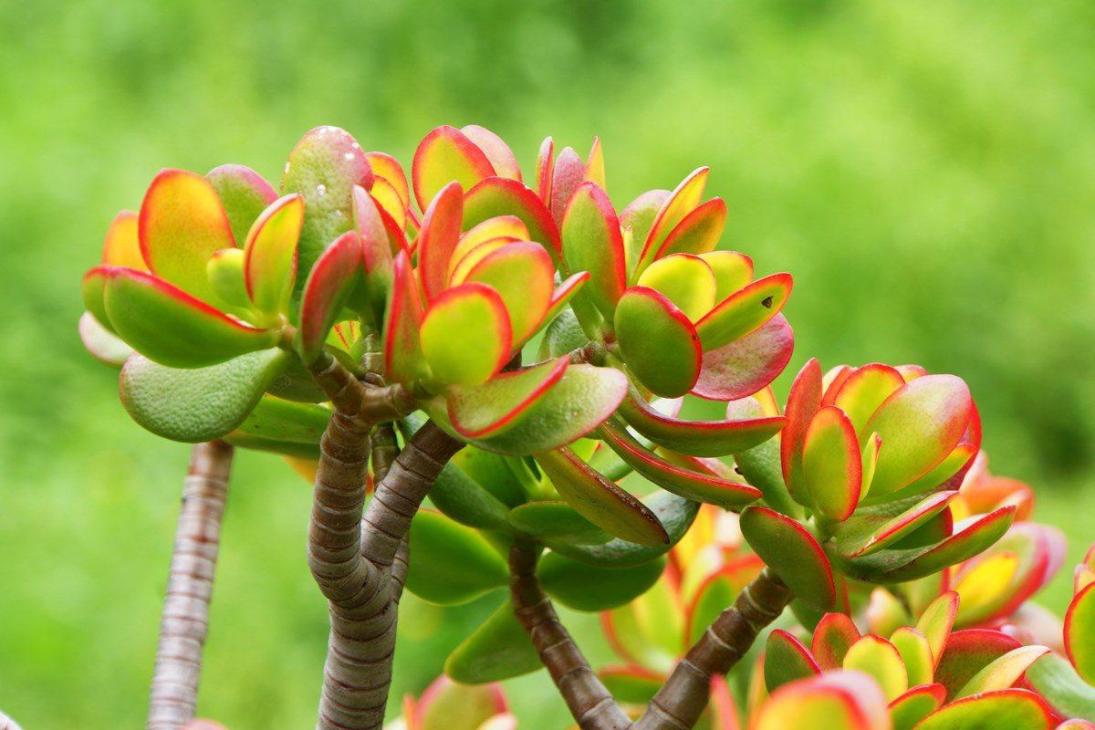 Điểm danh 5 loại cây phong thủy hút tài lộc đầu năm