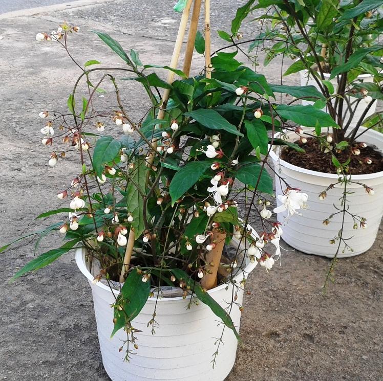 Bật mí cách trồng dạ ngọc minh châu ngày Tết