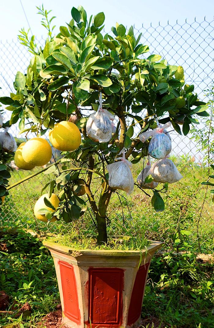 Cách trồng bưởi cảnh bonsai tạo dáng đẹp chơi Tết