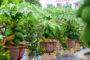 Cách trồng cây đu đủ cảnh ngày tết