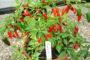 Tự trồng ớt trong chậu ngay tại nhà