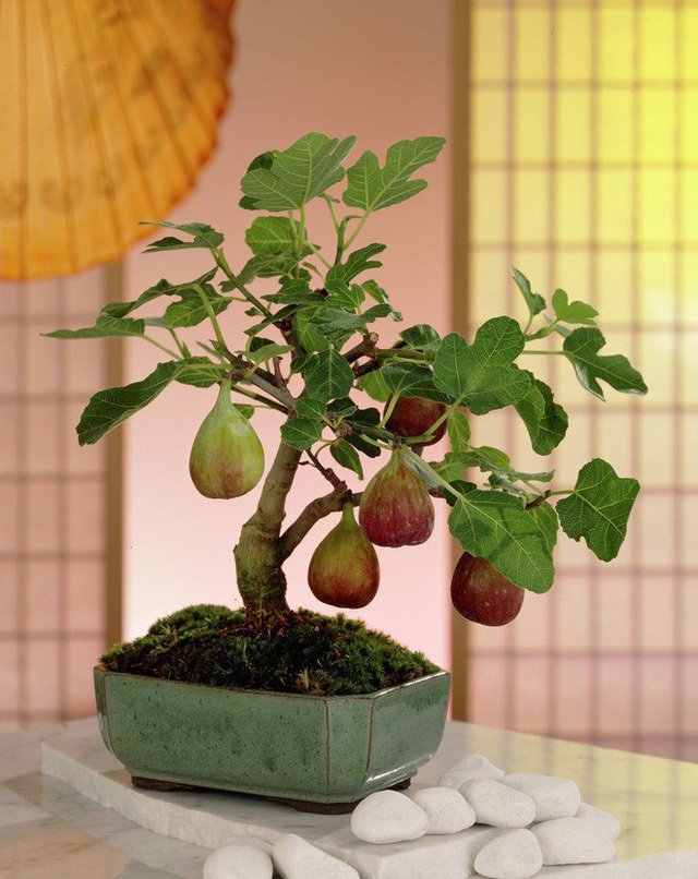Tự trồng cây sung cảnh ngày Tết