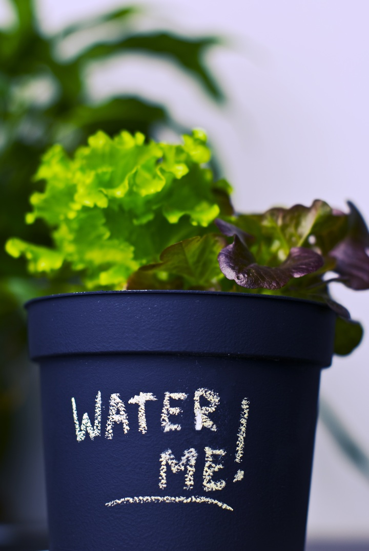 Học cách trồng rau xà lách ngày cận Tết