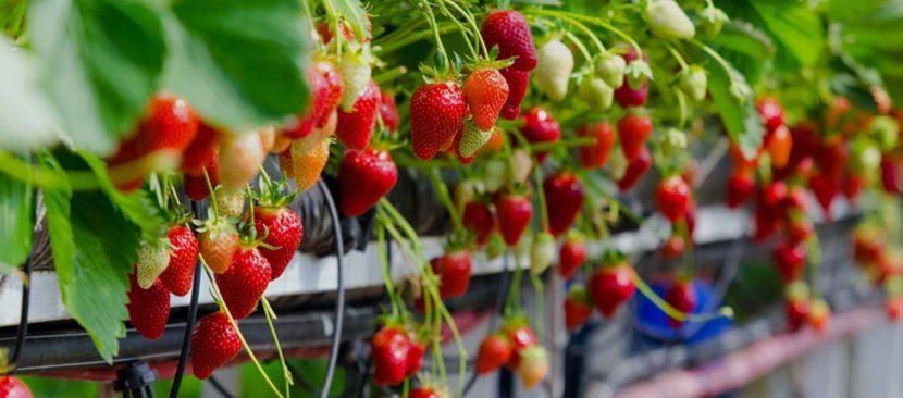 Bí quyết trồng dâu tây bằng hệ thống tưới nhỏ giọt đem lại năng suất cao