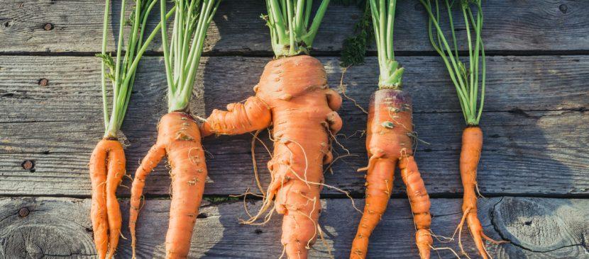 Đất quá chặt. Cà rốt buộc phải đi qua đất bị nén hoặc đá sẽ bị tách ra và trở nên dị hình.