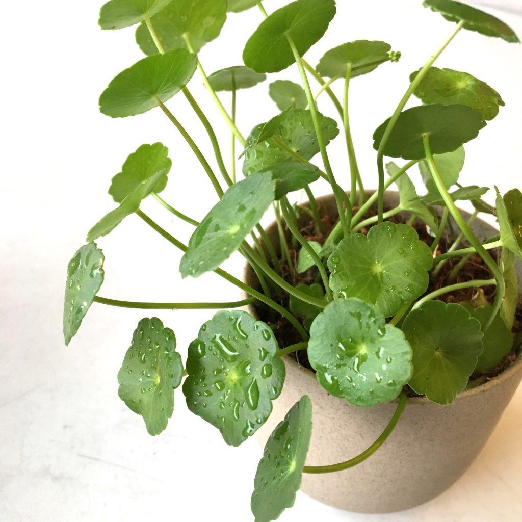 Cây cỏ đồng tiền là cây ưa ẩm nên rất thích hợp trồng thủy sinh để bàn làm việc mang tài lộc, vận may giúp tài vận thăng tiến đến cho gia chủ.