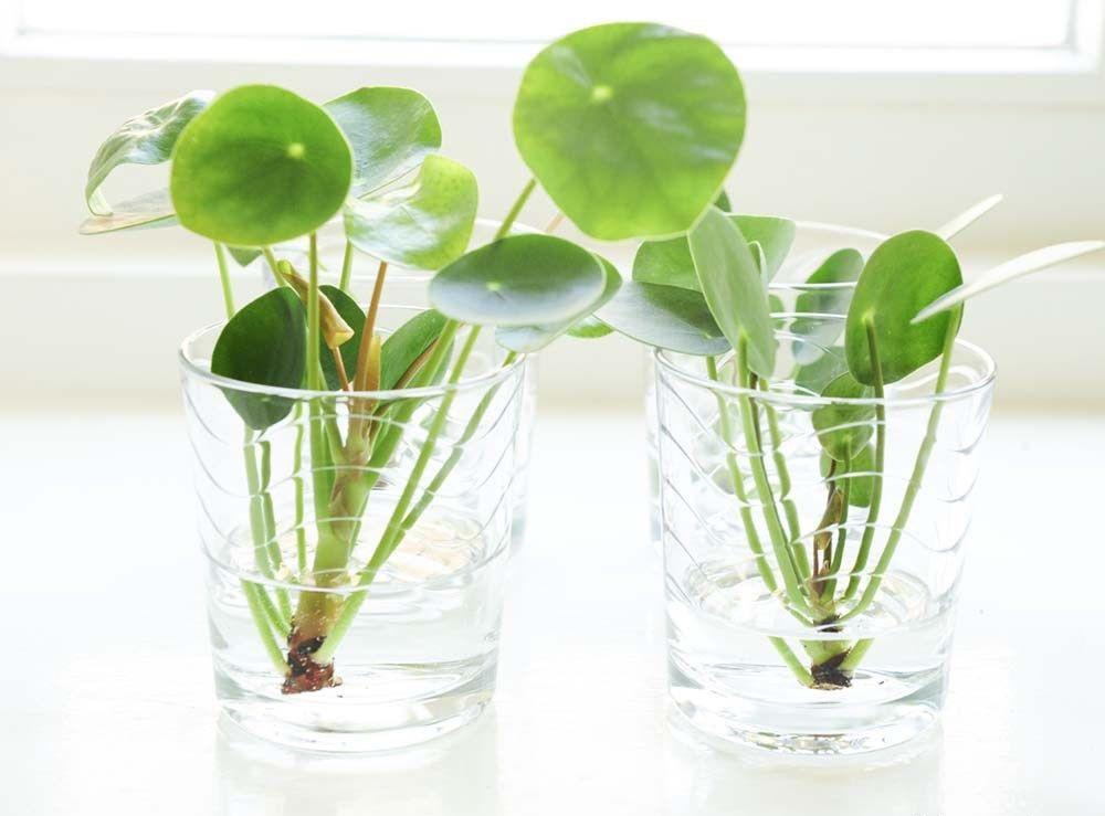 Chuẩn bị một bát nước nhỏ rồi thả hạt giống cỏ đồng tiền vào. Khoảng 1 tuần hạt giống sẽ nảy mầm