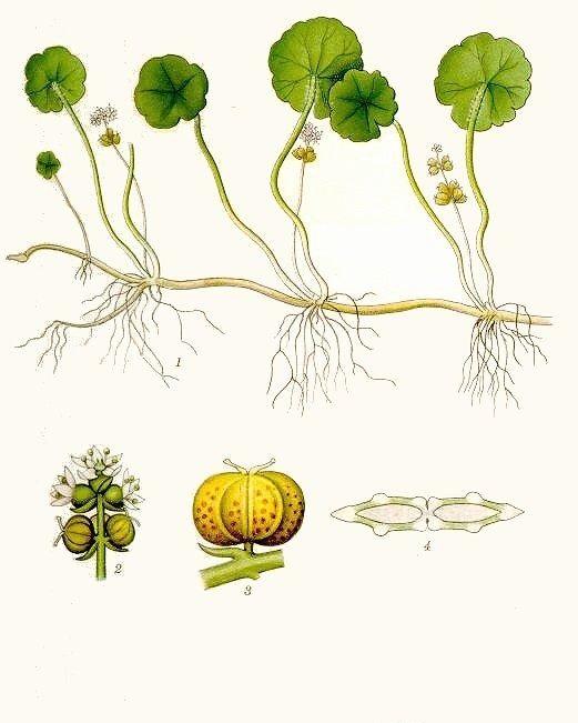 Khi cây cỏ đồng tiền đẻ nhánh, tiến hành tỉa từ cây mẹ và trồng sau chậu đã chuẩn bị sẵn.