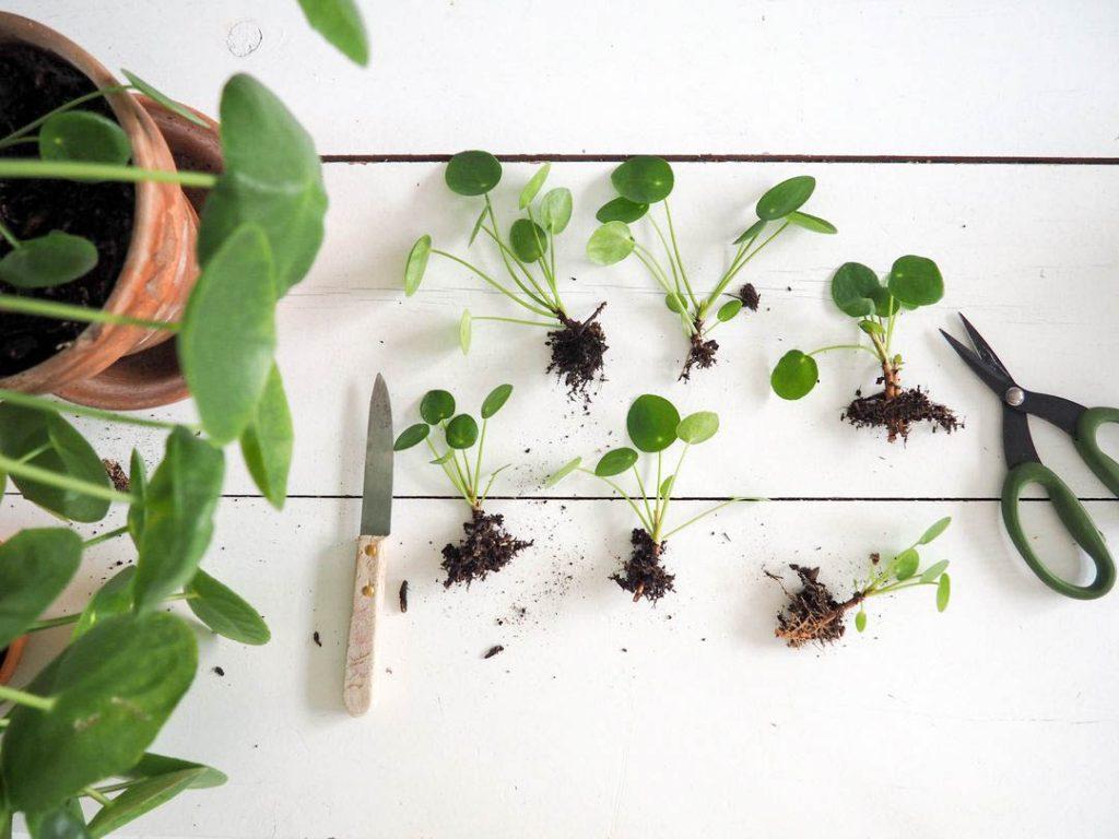 Học cách tự trồng cỏ đồng tiền thủy sinh trang trí bàn làm việc