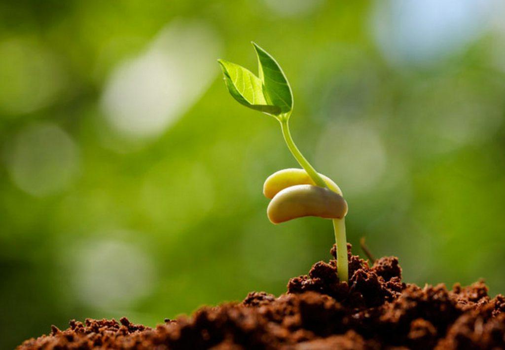 Đặt bầu ươm ở chỗ râm mát, tránh ánh nắng trực tiếp. Hàng ngày duy trì độ ẩm bằng bình phun sương. Sau 7-15  ngày hạt sẽ nảy mầm.
